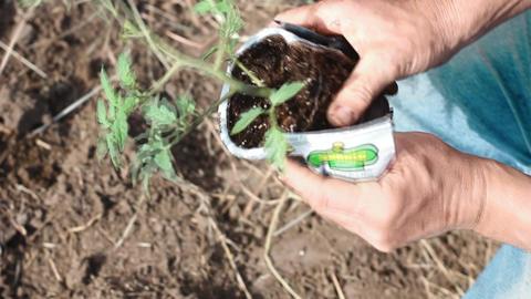 Gardening Tomatoes Footage
