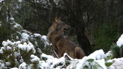 Iberian wolf snowing Footage