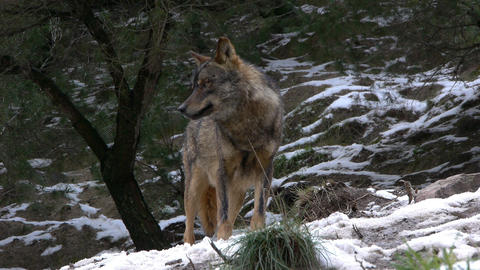 observing wolf pack leader Footage