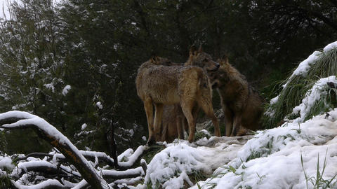 wolves in the snow Footage