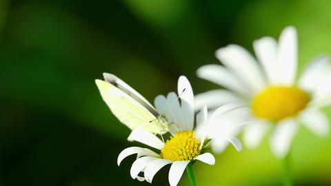 Butterfly on a flower daisies Footage