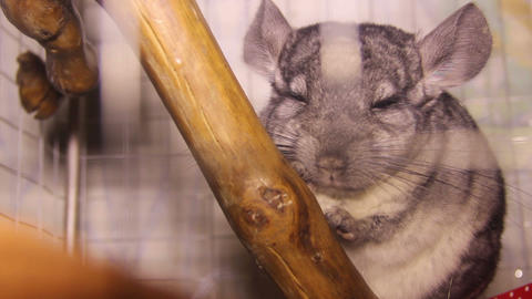 chinchilla in the cage Live Action