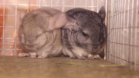 two chinchillas Live Action