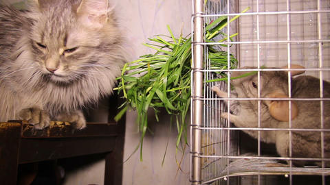 cat and chinchilla Footage