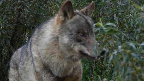 Iberian Wolf stock footage