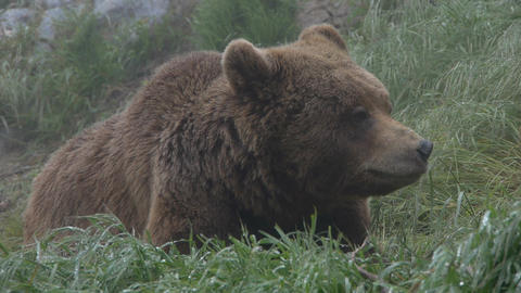 grizzly Footage