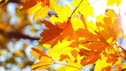 Golden Autumn Foliage Footage