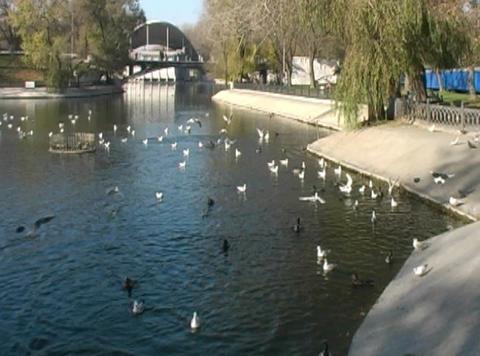 birds at pond Footage