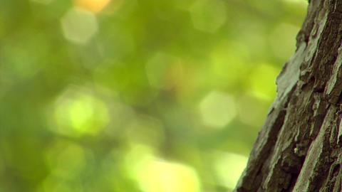 poplar trunk close-up Footage