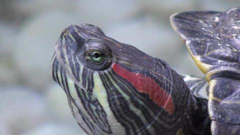 Turtle Head stock footage