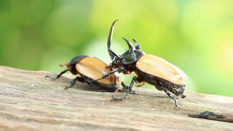 yellow five horned beetle in breeding season Live Action