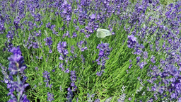 Lavender And Butterfly In Slow Motion stock footage