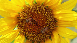 Honey bees collecting pollen at yellow Sunflower Footage