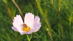 Honeybee collecting pollen at swing white cosmos flower Footage