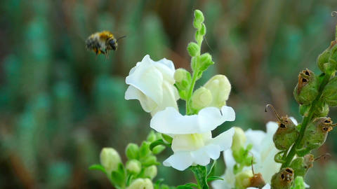 Bumblebee on a flower snapdragon Footage