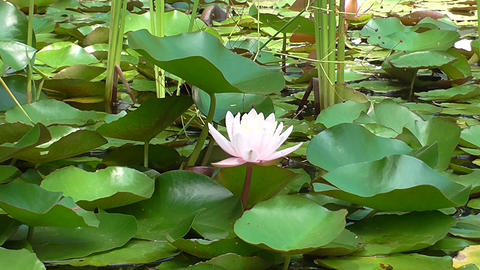 Aquatic Plants with Louts flower in bloom Footage