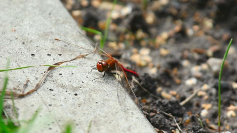 Red dragonfly Footage