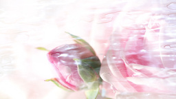 Water Flowing Over Pink Rose stock footage