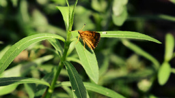 Butterfly On A Leaf stock footage