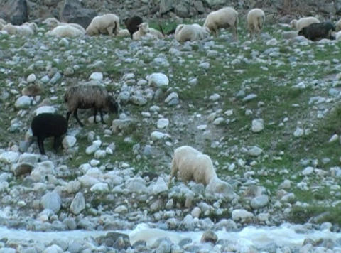 sheeps Footage