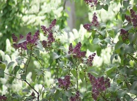 lilac Footage