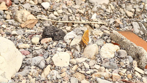 Butterfly 01 stock footage