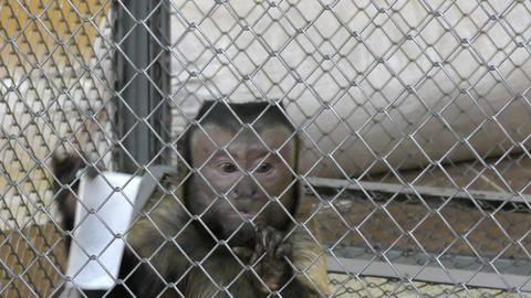 Brown Capuchin monkey Footage