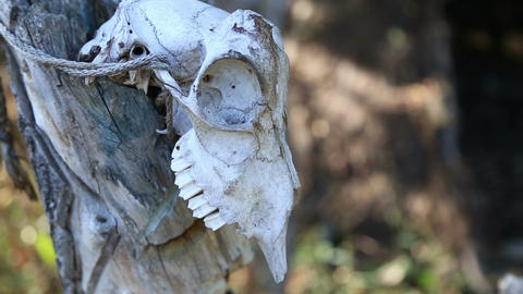 Animal skull hanging on the wooden stick Live Action