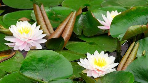 Lotus flowers Footage