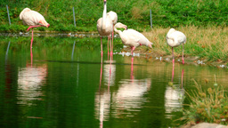 Pink flamingo Footage