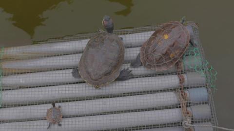 Birds Eye - Family Of Turtles stock footage
