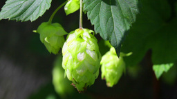 Ripe hops plant close up Footage