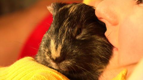 yawning guinea pig Footage