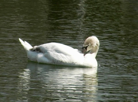 white swan Footage