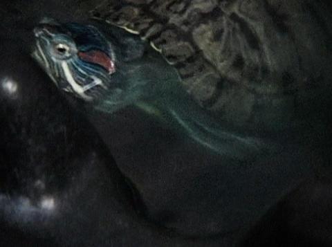 turtles in water Footage