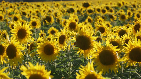 Big field with the blossoming sunflowers lit with the sun Footage
