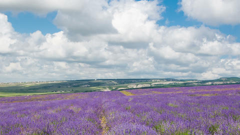 Clouds over a big field of the blossoming lavender, timelapse Footage