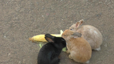 Rabbit Eats Corn stock footage