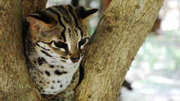 Bengal cat. Philippines. The island of Palawan Footage