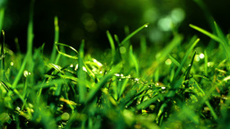 Grass With Morning Dew, sound Footage