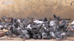 A lot of pigeons , doves Footage