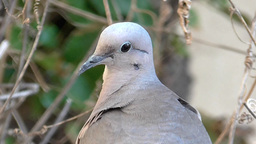 Close up dove scene , looking at the camara Live Action