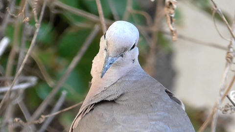 Close up dove scene , looking at the camara Stock Video Footage
