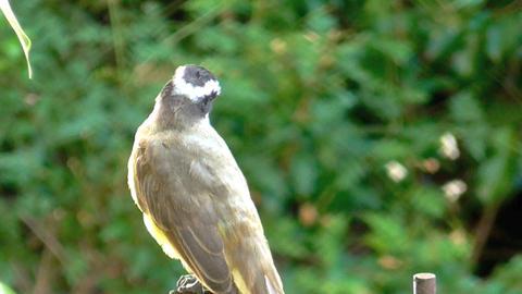 Yellow chest bird , Kikadee , Pitangus sulphuratus Live Action