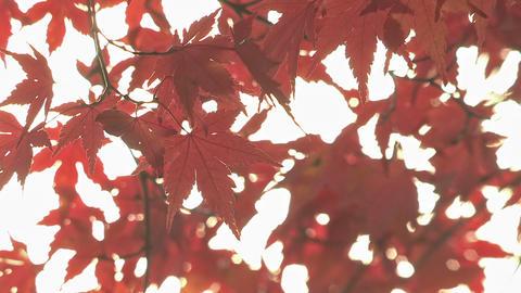 Autumn Leaves in Kawaguchi Lake,Yamanashi,Japan Stock Video Footage