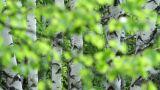 birch branch Footage