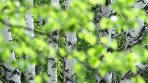 birch branch Stock Video Footage