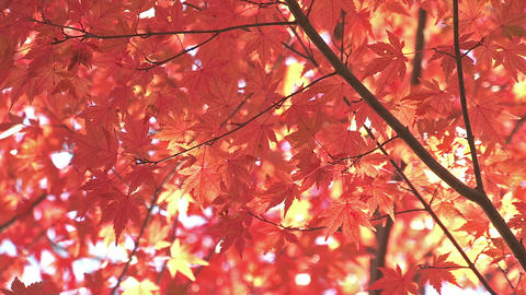 Autumn Leaves in Momiji Mountain,Yamanashi,Japan Stock Video Footage