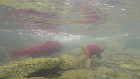 Wild Pacific Pink Salmon Spawning Clear Glacier Stream Animal Wildlife Footage