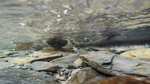 Spawning Fish Wild Salmon Swim Stream River Mating Swimming Footage